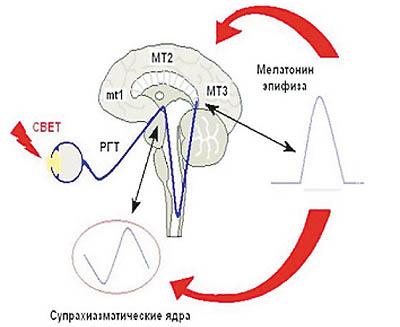 Мелатонин механизм действия